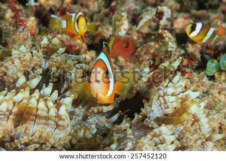 Family of Clownfish in an anemone - stock photo