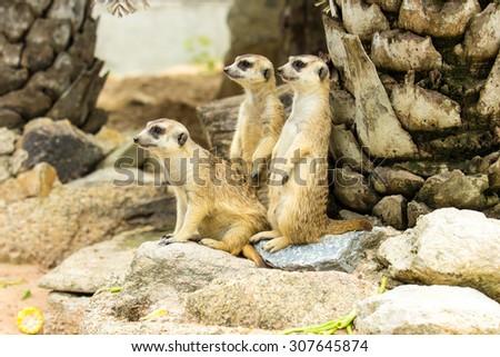 Family of cute Slender-Tailed Meerkats (Suricata suricatta) in zoo. - stock photo