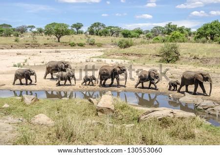 Family of elephants going to the waterhole in Tarangire national park, Tanzania - stock photo