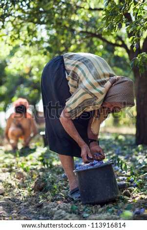 Family of farmers at plum harvest, in an orchard, older woman in foreground - stock photo