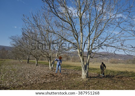 Family of farmers cleaning up dead leaves with rakes in an orchard - stock photo