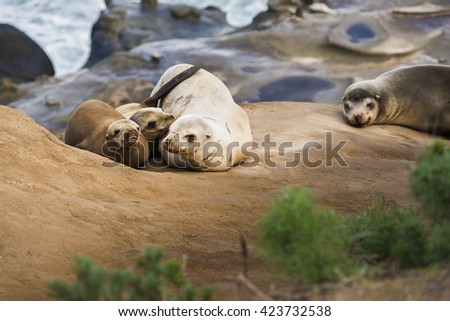 Family of four light, small sea lions cuddling and sleeping in the sun on a rocky beach in San Diego, California with plant foreground in La Jolla cove - stock photo