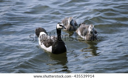 Family of geese with two of small gray chicks swimming on the waves