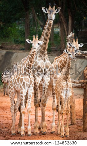 Family of giraffe - stock photo
