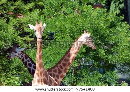 Family of giraffes on nature background - stock photo