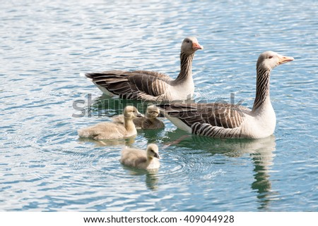 "Family of Gray Goose with 3 Chicken swimming on a lake ""hoehenfelder see"" near cologne germany in spring 2016."