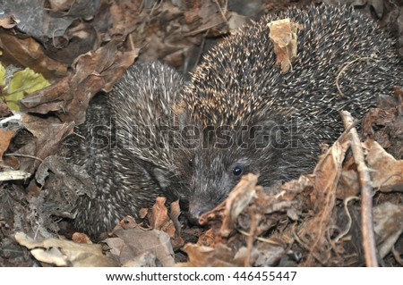 Family of hedgehogs in the dry leaves