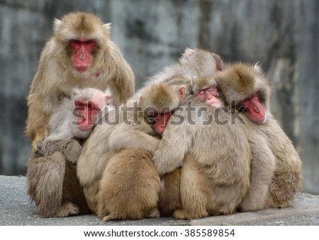 Family of Japanese monkeys on a cold day in winter