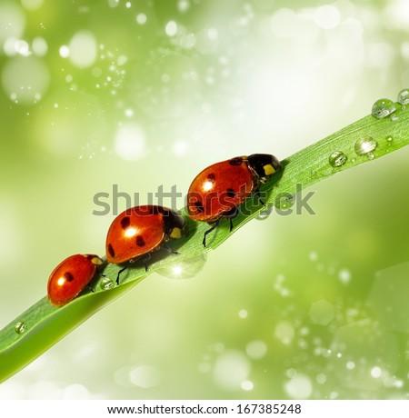family of ladybugs on green leaf. The background bokeh - stock photo