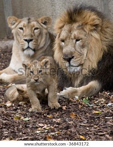 family of lions - stock photo