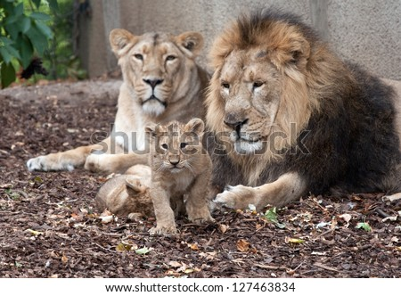 family of lions male female and cub - stock photo