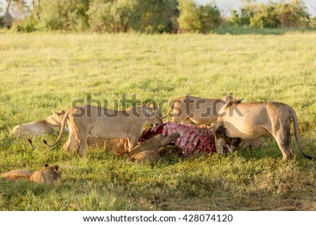 Family of lions taking breakfast in the morning sun of african savanna - stock photo