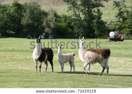 Family of Llamas in a pasture