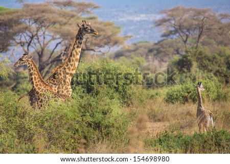 Family of Masai Giraffe in Amboseli National Park , Kenya - stock photo
