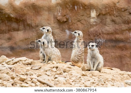 family of meerkat or suricate watching out for danger - stock photo