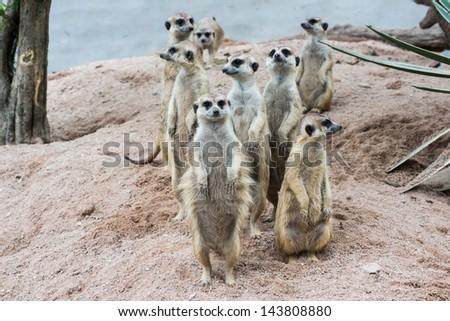 Family of Meerkats - stock photo