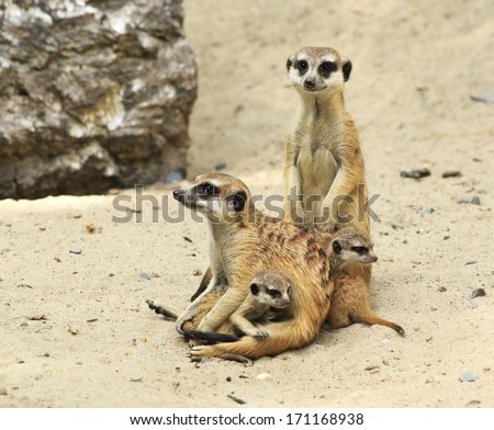Family of meerkats with cubs. Novosibirsk Zoo. Russia.