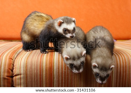 Family of polecats