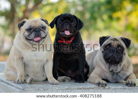 Family of pug. (?Black puppy pug dog sitting between fawn pug dog on marble table.) - stock photo