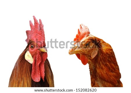 family of rooster and hen standing together over white background - stock photo