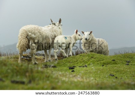 Family of sheep on the meadow, Scotland