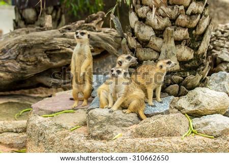 Family of Slender-Tailed Meerkats (Suricata suricatta) in zoo. - stock photo