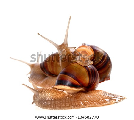 Family of snails on top of one another. Isolated on white background.