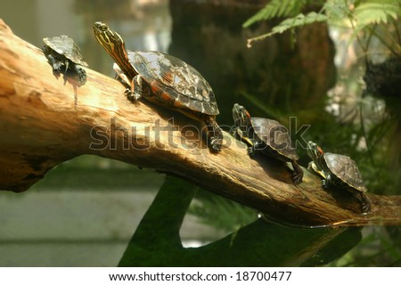 Family of terrapin turtles in their natural habitat - stock photo