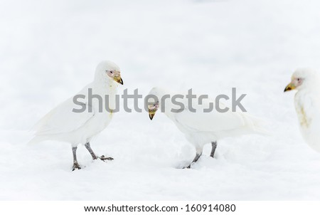 Family of the Snowy Sheathbills (Chionis albus) in Antarctica - stock photo