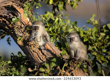 Family of Vervet Monkeys in Kruger National Park