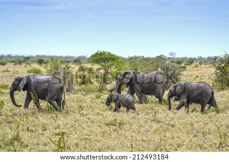 Family of wild African elephants after mud bath in African savanna. Kruger National Park, South Africa.  - stock photo