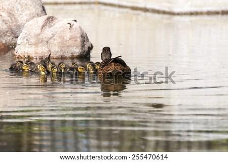 Family of Wild ducks, Anas platyrhynchos, swimming in a pond. Photo taken in the Garden of Cecilio Rodriguez, Retiro Park, Madrid, Spain  - stock photo