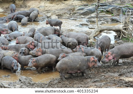 family of wild hippo; hippo;  landscape background; animals; wildlife;