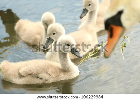 Family of young swans in the care of his mother. - stock photo