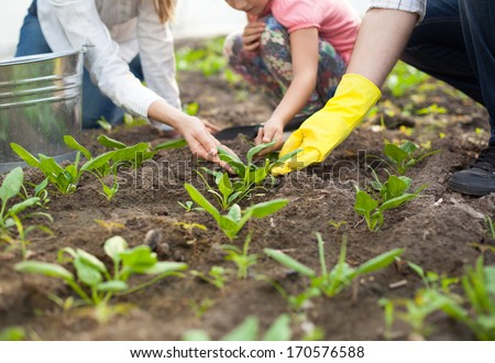 Family planting spinach in their garden.  - stock photo