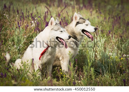 Family Siberian Husky playing on the grass in the field. The puppies and their parents. Close-up. Active dogs games. Northern sled dog breeds.