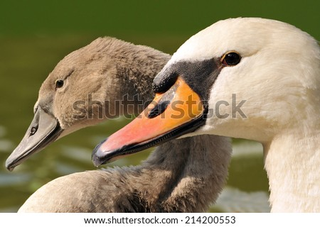 Family swan - mother and daughter - close up