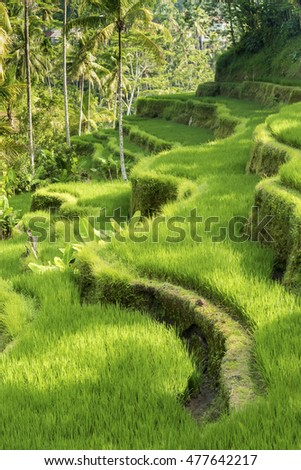 Famous attraction of Ubud - The Jatiluwih Rice Terraces in Bali, Indonesia