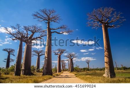 Famous Avenida de Baobab near Morondava in Madagascar - stock photo