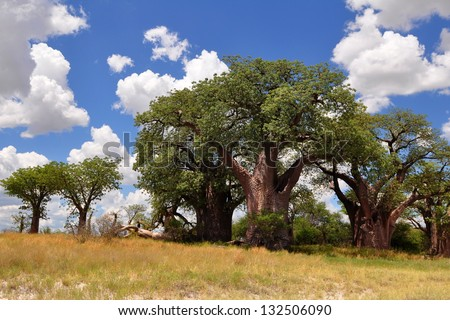 Famous Baines baobabs in Nxai pan in Botswana - stock photo