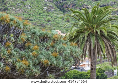Famous dragon Tree (Dracaena draco) among palm trees at Icod de los Vinos in the northwest of Tenerife in the Spanish Canary Islands, This tree is the natural symbol of the Canary island.