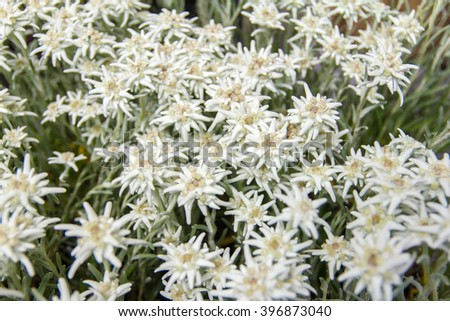 Famous flower Edelweiss (Leontopodium alpinum), symbol of alps, mountains. Shallow depth of field. Symbol of luck,inaccessibility and fortune. A lot of small white hairy flowers  in the shape of stars - stock photo