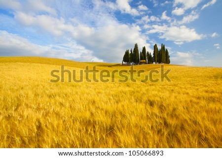 Famous tree group in Val d'Orcia, Tuscany