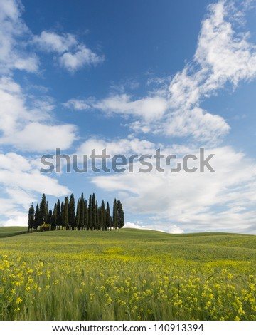 Famous Tuscan cypress trees on top of a hill with wheat and flowers