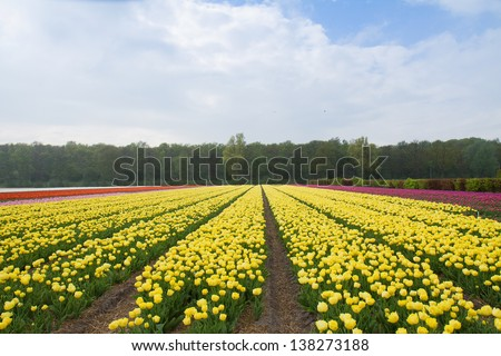 Famouse dutch yellow tulip field with rows