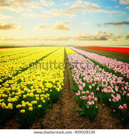 Famouse dutch yellow ulip field with rows under blue sky with clouds , retro toned - stock photo