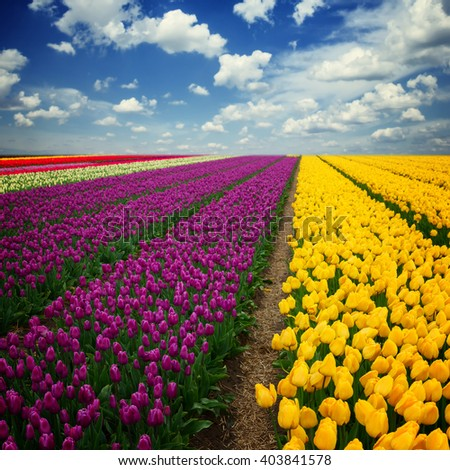 Famouse pink and violet tulip field with rows under blue sky with clouds
