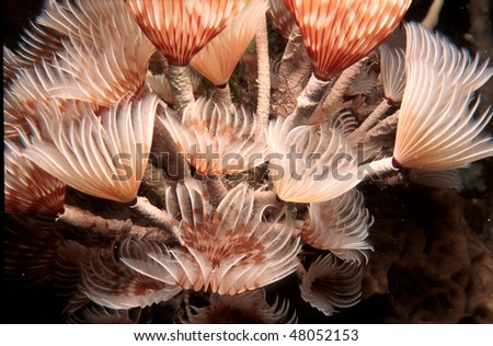 Fan Worms from a night dive in the Grand Cayman Islands - stock photo