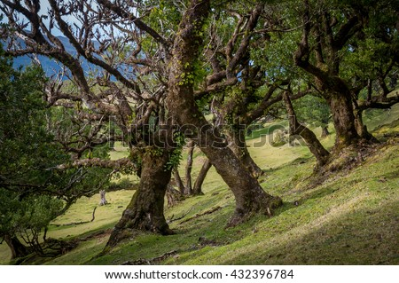 Fanal old forest and popular hiking spot at Madeira. Virgin nature with ancient mystic trees and hills in the mountains. Madeira island, Portugal.