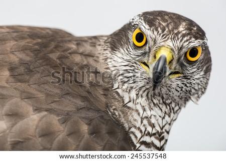 Fanciers hawk. Hawk portrait isolated on white background.  - stock photo